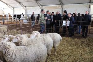 Las autoridades, recorriendo la sección de ovinos